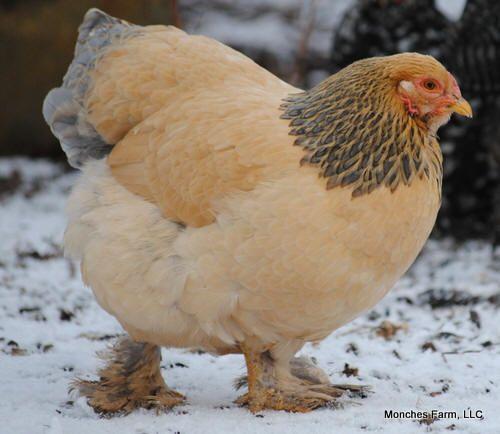 Buff Brahma Chicken Hen